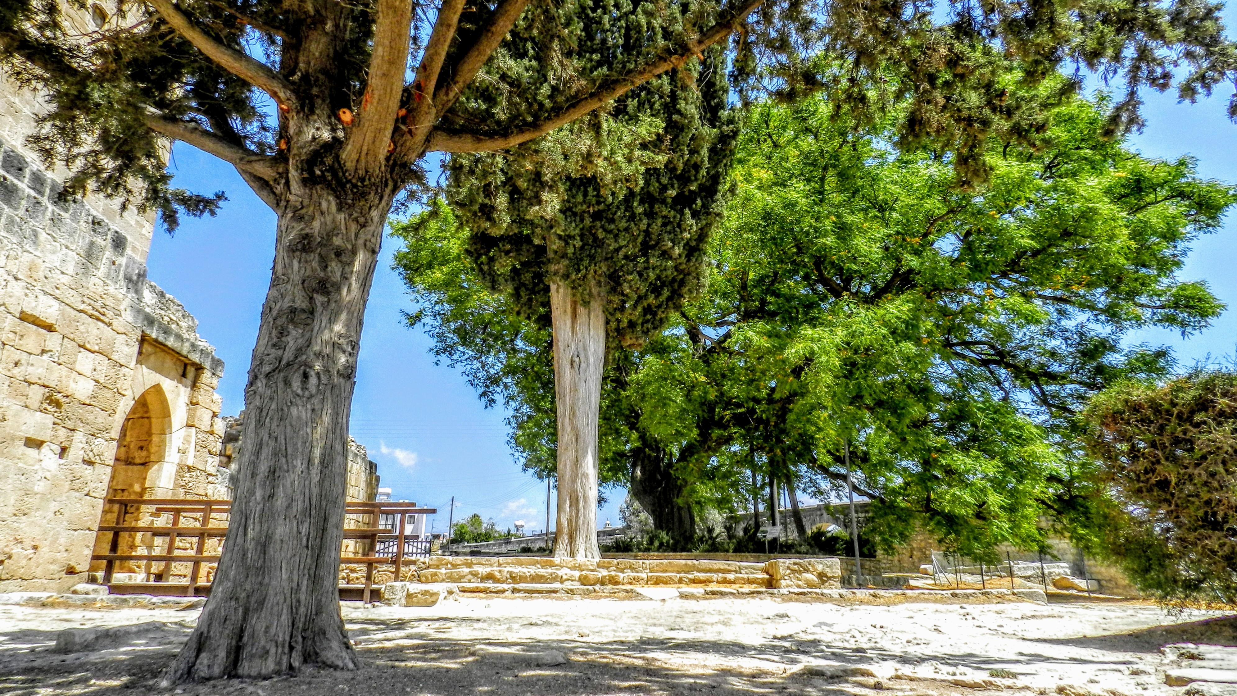 Tipuana Tipu - drzewo
